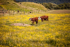 Saying Nothing, That's Enough for Me (Thomas Hawk) Tags: america california eureka humboldtcounty northerncalifornia usa unitedstates unitedstatesofamerica cow cows fav10
