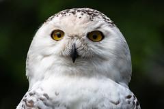 Snowy Owl 13 (cypher40k Photography) Tags: 200500 animal animals bird color colour nikon nikond500 owl snow snowy snowyowl toronto torontozoo wildlife zoo
