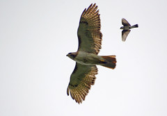 Eastern Kingbird chasing a Red-tailed Hawk (ctberney) Tags: easternkingbird redtailedhawk flying birds chasing fighting nature ontario canada