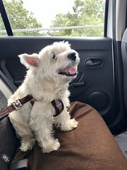 My little best mate, Chisholm, enjoying a ride in my son's car (Kay Bea Chisholm) Tags: backseat whitedog dog westie roadtrip carride chisholm