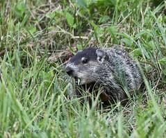 Groundhog (Mary Sonis) Tags: groundhog carolina whistlepig woodchuck
