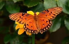 Gulf Fritillary (deanrr) Tags: butterfly butterflyonflower fritillary gulffritillary outdoor morgancountyalabama alabama alabamanature symmetry