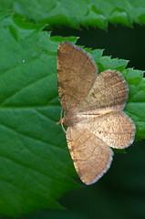 Pruun-põõsavaksik; Macaria brunneata; Rannoch Looper (urmas ojango) Tags: lepidoptera liblikalised insecta insects putukad moth vaksiklased nationalmothweek geometridae pruunpõõsavaksik macariabrunneata rannochlooper