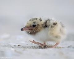 Crawling chick (v4vodka) Tags: bird birding birdwatching animal nature wildlife longisland newyork tern commontern sternahirundo rybitwa rybitwazwyczajna seabird rybitwarzeczna chick ternchick commonternchick cute seeschwalbe 普通燕鷗