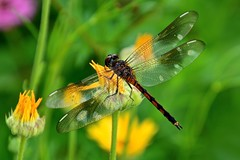 Dragonfly in flowers (deanrr) Tags: dragonfly flowers outdoor nature morgancountyalabama alabama