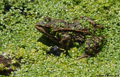 Columbia Spotted Frog (walkerross42) Tags: frog amphibian columbiaspottedfrog algae water ditchcreek stream palouse washington wildlife