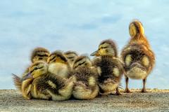 Ducklings (cj13822) Tags: columbia maryland unitedstatesofamerica tamron sony a7 ducks duckling bird birding birds water waterfowl cuteness cute