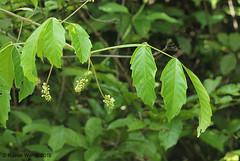 IMG_6432 not determined (Raiwen) Tags: africa guinea flora westafrica vegetation liana moyenneguinée unidentifiedplant