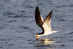 Black Skimmer Skimming at Sunset (dbadair) Tags: bif flight outdoor seaside shore sea water nature wildlife 7dm2 7d ii ef100400mm ocean canon florida bird