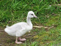 Whooper Swan Cygnet (Cygnus cygnus) (Gerald (Wayne) Prout) Tags: whooperswan cygnet cygnuscygnus animalia chordata aves anseriformes anatidae anserinae cygnus cedarmeadowsresortandspa mountjoytownship cityoftimmins northeasternontario canada prout geraldwayneprout canon canonpowershotsx60hs powershot sx60 hs digital camera photographed photography birds whooper swans waterfowl waterbirds animals cedarmeadows resort spa mountjoy township city timmins northeastern ontario northernontario
