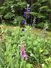 Delphinium and Foxglove (amyboemig) Tags: june delphinium foxglove flower flowers garden summer