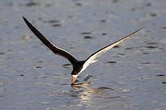 Black Skimmer Skimming (dbadair) Tags: bif flight outdoor seaside shore sea water nature wildlife 7dm2 7d ii ef100400mm ocean canon florida bird