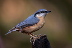 Nutty (sean4646) Tags: d500 nikon birds avian nature wildlife reddishvale tameside cheshire nuthatch perch
