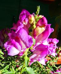 Dwarf snapdragon (fibregal) Tags: flowers snapdragon dwarfsnapdragon
