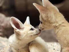 fennec artis 094A0588 (j.a.kok) Tags: animal artis africa afrika woestijnvos fox fennek fennec fennecfoxfennecuszerdavulpeszerdavulpes vos dessertfox moederenkind motherandchild