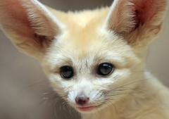 fennec artis 094A0666 (j.a.kok) Tags: animal artis africa afrika woestijnvos fox fennek fennec fennecfoxfennecuszerdavulpeszerdavulpes vos dessertfox moederenkind motherandchild