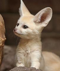 fennec artis 094A0730 (j.a.kok) Tags: animal artis africa afrika woestijnvos fox fennek fennec fennecfoxfennecuszerdavulpeszerdavulpes vos dessertfox moederenkind motherandchild