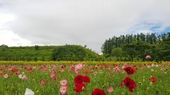 Poppy field (blondinrikard) Tags: