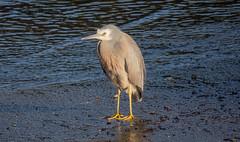 White-faced heron (M.Drain) Tags: canonsx70 newzealand petoneestuary places whitefacedheron bird heron superzoom whitefaced