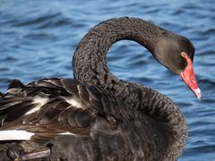 Black Swan (M.Drain) Tags: canonsx70 newzealand petoneestuary places bird blackswan superzoom swan