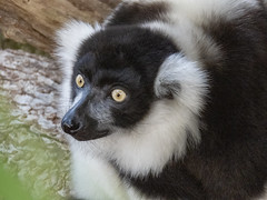 Lemur (M.Drain) Tags: animals canonsx70 newzealand places wellingtonzoo lemur superzoom zoo
