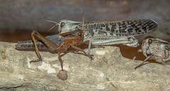 Locusts (M.Drain) Tags: animals canonsx70 newzealand places wellingtonzoo locust superzoom zoo