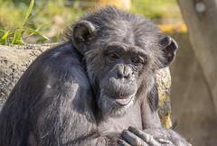 Chimpanzee (M.Drain) Tags: animals canonsx70 newzealand places wellingtonzoo chimpanzee superzoom zoo