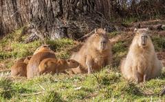 Capybaras (M.Drain) Tags: animals canonsx70 newzealand places wellingtonzoo capybara superzoom zoo