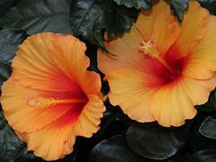 Hyacinth (M.Drain) Tags: begoniahouse canonsx70 wellingtonbotanicgarden flower superzoom