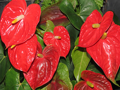 Red Flowers (M.Drain) Tags: begoniahouse canonsx70 wellingtonbotanicgarden flower superzoom