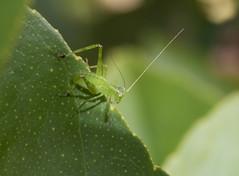 Katydid nymph (M.Drain) Tags: canonsx70 churtonpark newzealand places backyard juvenile katydid nymph superzoom