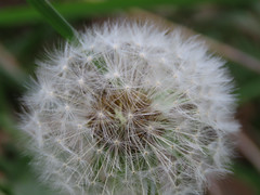 Dandelion seed (M.Drain) Tags: canonsx70 pauatahanui dandelion plant seed superzoom
