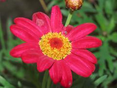 Flower (M.Drain) Tags: canonsx70 churtonpark backyard daisy flower superzoom