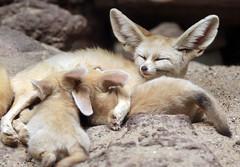 fennec artis 094A0521 (j.a.kok) Tags: animal artis africa afrika woestijnvos fox fennek fennec fennecfoxfennecuszerdavulpeszerdavulpes vos dessertfox moederenkind motherandchild