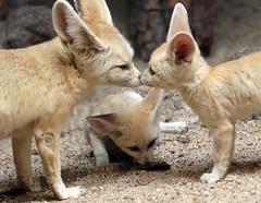fennec artis 094A0703 (j.a.kok) Tags: animal artis africa afrika woestijnvos fox fennek fennec fennecfoxfennecuszerdavulpeszerdavulpes vos dessertfox moederenkind motherandchild