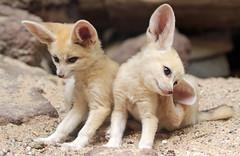 fennec artis 094A0672 (j.a.kok) Tags: animal artis africa afrika woestijnvos fox fennek fennec fennecfoxfennecuszerdavulpeszerdavulpes vos dessertfox moederenkind motherandchild