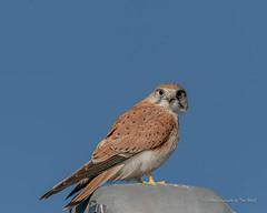 Nadeen Kestrel (Beckett_1066) Tags: birds kestrel redbank skies