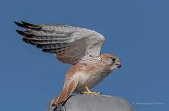 Nadeen Kestrel in take off! (Beckett_1066) Tags: birds kestrel redbank skies