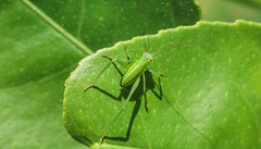 Katydid nymph (M.Drain) Tags: canonsx70 churtonpark newzealand places backyard closeup insect juvenile katydid lemonbush macro nymph shotinraw superzoom