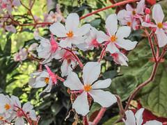 Flowers (M.Drain) Tags: begoniahouse canonsx70 wellingtonbotanicgarden flower superzoom