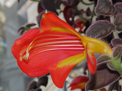 Flower (M.Drain) Tags: begoniahouse canonsx70 wellingtonbotanicgarden flower superzoom