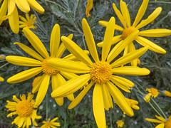 Flowers (M.Drain) Tags: canonsx70 churtonpark daisy flower superzoom walk