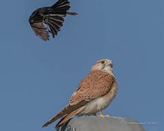 Nadeen Kestrel... (Beckett_1066) Tags: birds kestrel redbank skies