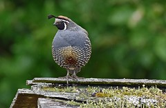 Up on the housetop (Snixy_85) Tags: quail californiaquail callipeplacalifornica