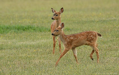 Twins (CindyFullwiler Nature Photography) Tags: fawn deer blacktail doe washington sequim twins