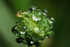 Wet day #4 (Lord V) Tags: macro water raindrop plant euphorbia