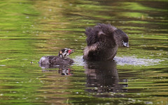 A family moment - Pied Billed Grebes (foto tuerco) Tags: pied billed grebes young adult oregon