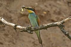 Bienenfresser (Merops apiaster) (appeldorn99) Tags: deutschland sachsenanhalt wildlife meropsapiaster bienenfresser rackenvogel