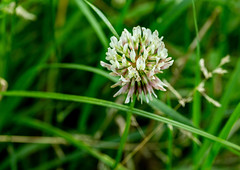 6M7A6673 (hallbæck) Tags: hvidkløver whiteclover trifoliumrepens ærteblomstfamilien fabaceaefamily blomst flower blume fiore fleur flore blomma plante plant macro canoneos5dmarkiii ef100mmf28lmacroisusm