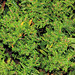 ecosystem/flora/Rosy Rotala(Rotala rosea)